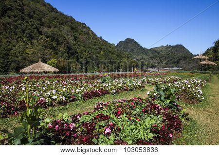 Amaryllis Hippeastrum Garden
