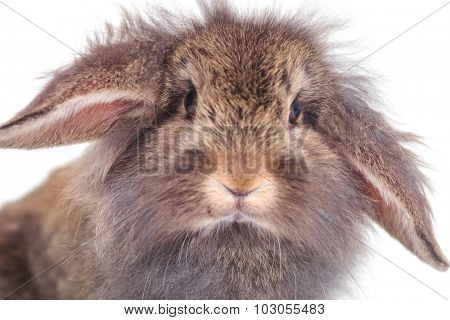 Close up picture of an adorable lion head rabbit bunny looking at the camera.