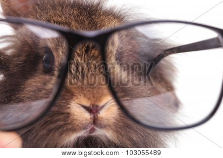 Close up picture of a lion head rabbit bunny wearing glasses.