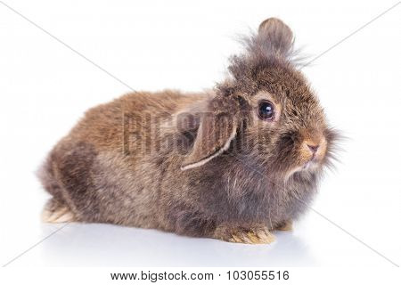 Side view picture of a cute lion head rabbit bunny lying on white background.