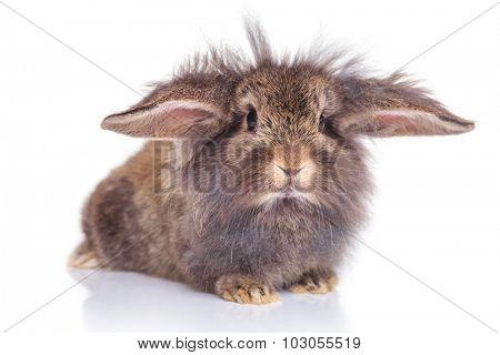 Adorable lion head rabbit bunny lying on isolated background.