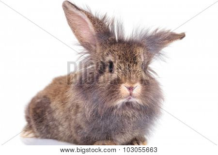 Cute lion head rabbit bunny sitting on white background holding his ears up.