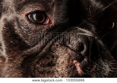 face, eyes and nose of a cute french bulldog puppy dog, closeup picture