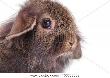 Side view close up picture of a cute lion head rabbit bunny sitting on white studio background