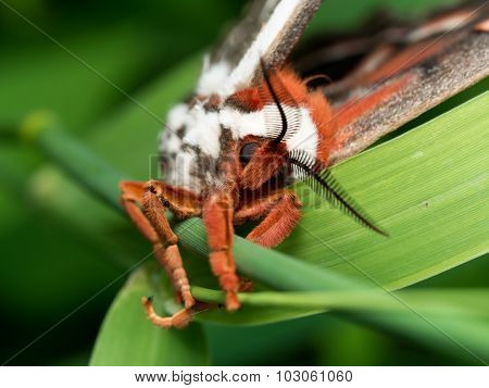 Front View Of Orange, White And Brown Giant Silk Moth On Green Grass