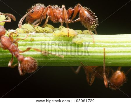 Red Ant Herds Small Green Aphids On Green Plant Stem With Black Background