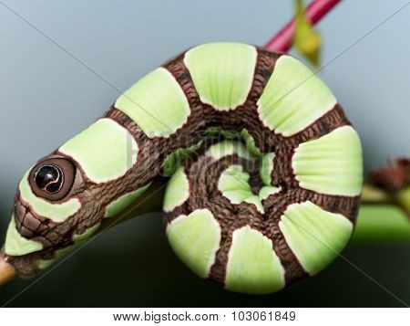 Bright Green Sphinx Moth Caterpillar With Large Brown Eye Spot
