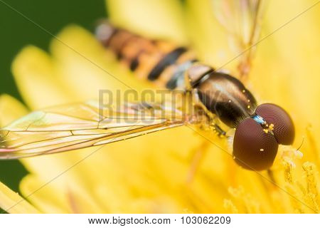 Hoverfly With Red Eyes On Bright Yellow Flower