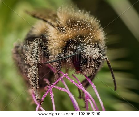 Bumble Bee Covered In Pollen On Purple Thistle