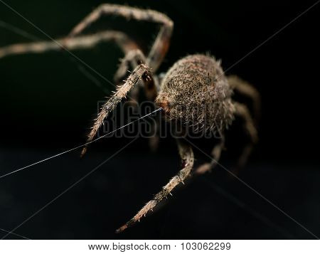 Orb Weaving Spider Lays Out Web Closeup From Behind With Black Background