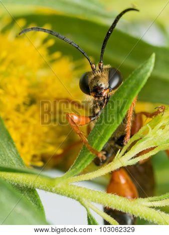Great Golden Digger Wasp On Leaf