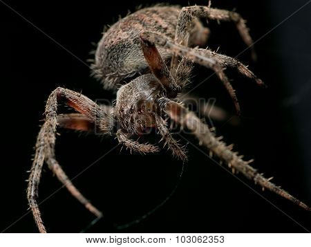 Brown Orb Weaving Spider With Black Background