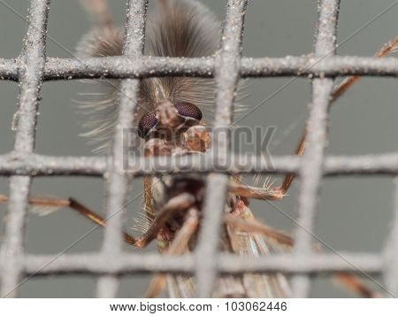 Furry Midge Through Window Screen