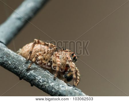 Small brown jumping spider on window screen