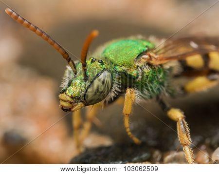 Green Metallic Sweat Bee Profile View