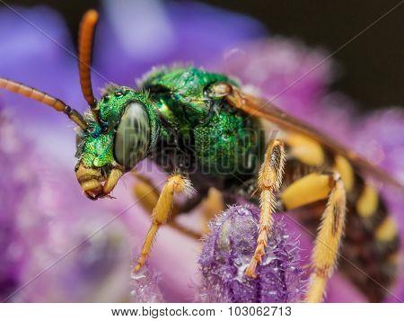 Green Metallic Sweat Bee On Purple Flower