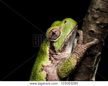 Green Treefrog With Orange Eyes Hangs On To Brown Branch
