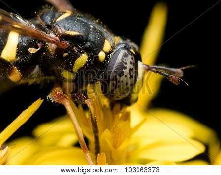 Hoverfly With Black Spotted Eyes Extracts Pollen From Yellow Flower
