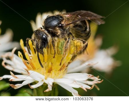 Black Wasp On Flower With Pollen