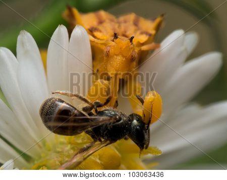 Yellow Ambush Bug Eats Wasp Close Up