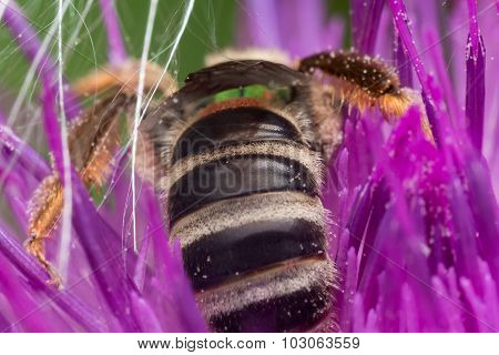 Rear View Of A Green Sweat Bee Extracting Pollen From Purple Thistle