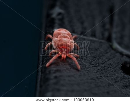 Red Velvet Mite On Black Fingerprinted Surface