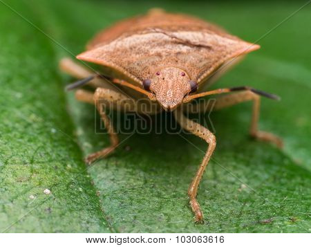 Brown Marmorated Stinkbug On Leaf Frontal View