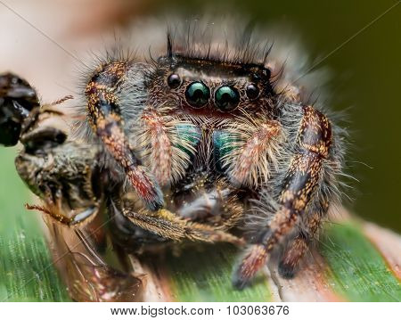 Black Jumping Spider With Shiny Green Mouth Eats Wasp Covered In Pollen