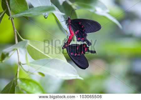 Black And Red  Butterflies In Love