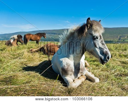 Icelandic horses taking rest on a meadow at sunny summer day