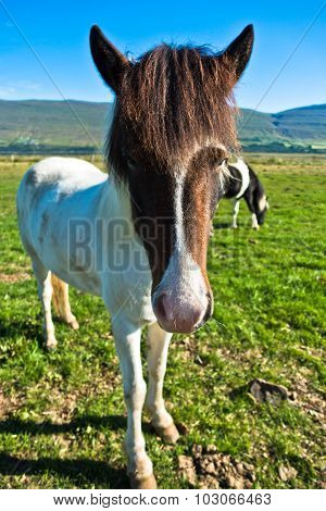 Funny closeup of islandic horse at meadow on a sunny summer day