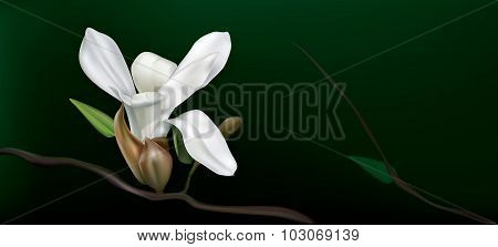 White Magnolia On A Black Background
