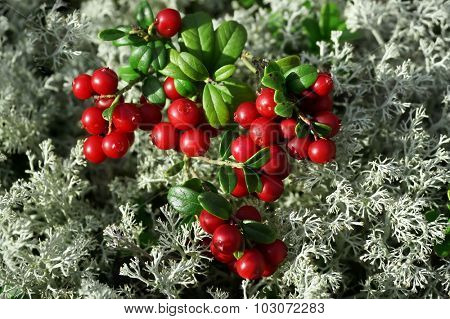 Cowberry Lingonberry close up on Moss Reindeer surface top view