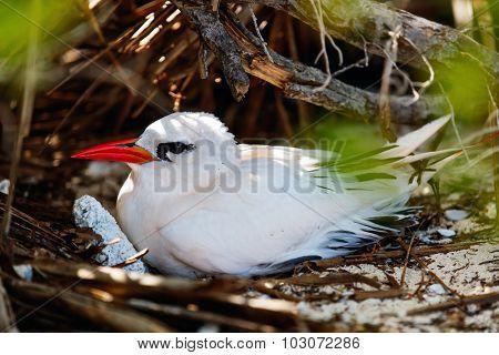 Red-tailed tropicbird  nesting on Honeymoon island at Aitutaki, Cook Islands