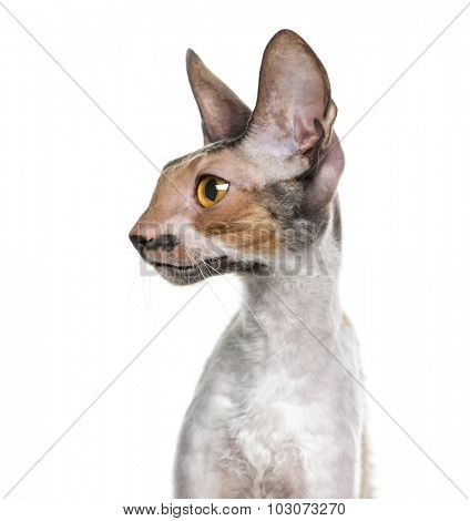 Close-up of a Cornish Rex (10 months old) in front of a white background