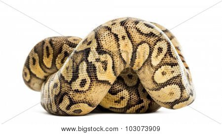 Royal python, python regius, rolled in front of a white background
