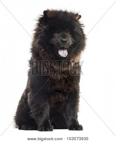 Chow chwo sitting in front of a white background