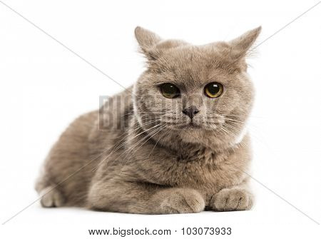 British shorthair lying in front of a white background