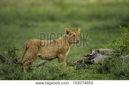 Lion cub standing, Serengeti, Tanzania