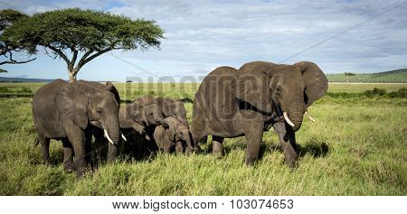 Herd of Elephants walking, Serengeti, Tanzania