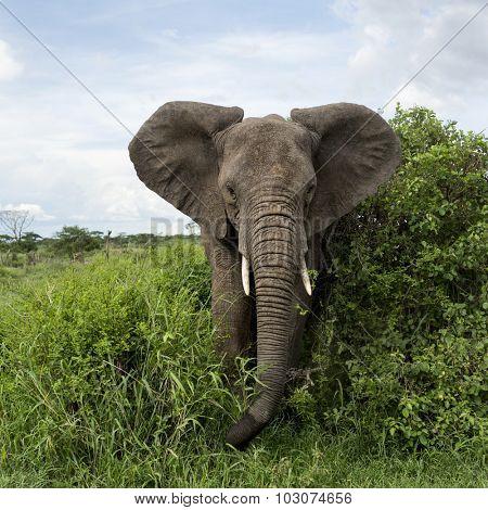 Elephant facing, Serengeti, Tanzania