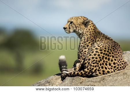 Cheetah lying on a rock, Serengeti, Tanzania