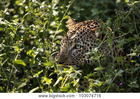 Leopard hiding in a bush, Serengeti, Tanzania
