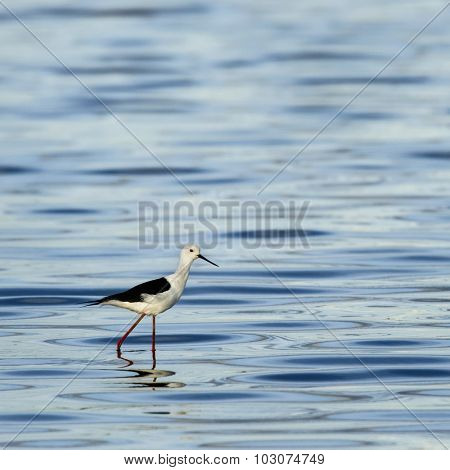 Black-winged stilt walking in water, Serengeti, Tanzania