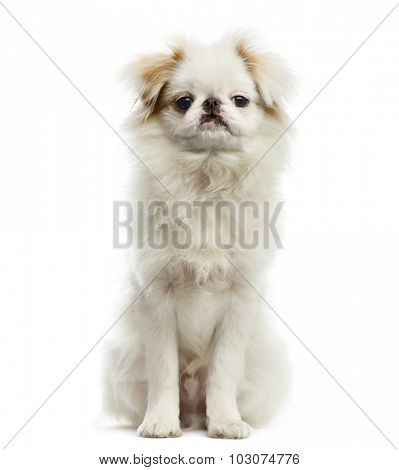 Japanese Chin in front of a white background