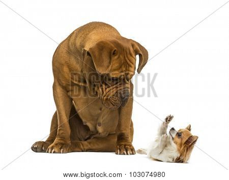 Dogue de Bordeaux sitting and looking at a Chihuahua in front of a white background