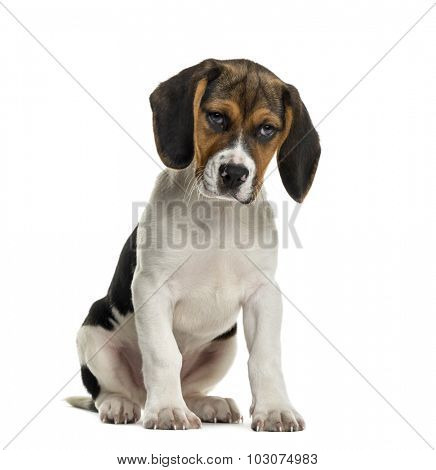 Sulking Beagle in front of white background