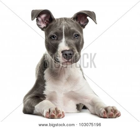 American Staff puppy in front of white background