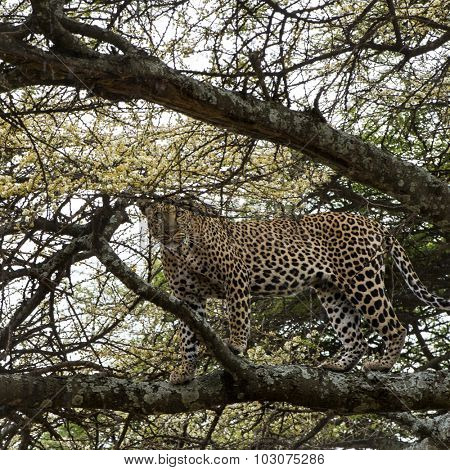 Leopard standing on a branch, Serengeti, Tanzania