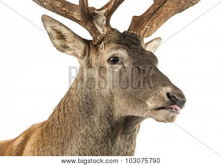 Close-up of a Red deer stag in front of a white background
